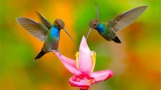 "Beautiful Relaxing Music, Peaceful Soothing Instrumental Music, ""Hummingbird Flight"" By Tim Janis"