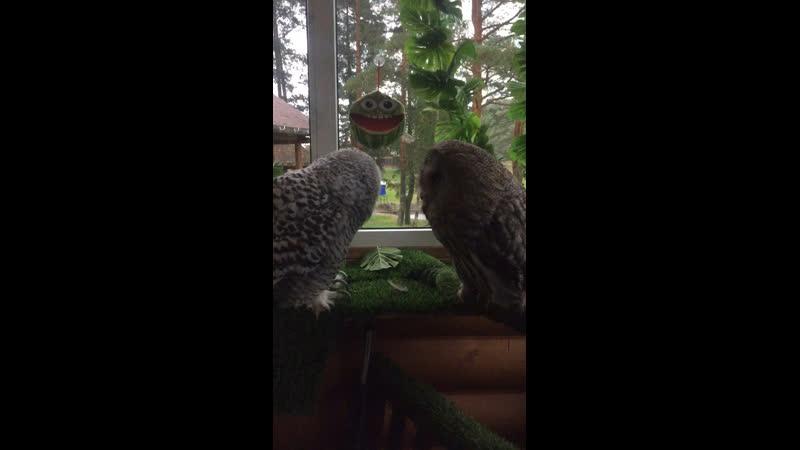 Полярная сова и бородатая неясыть