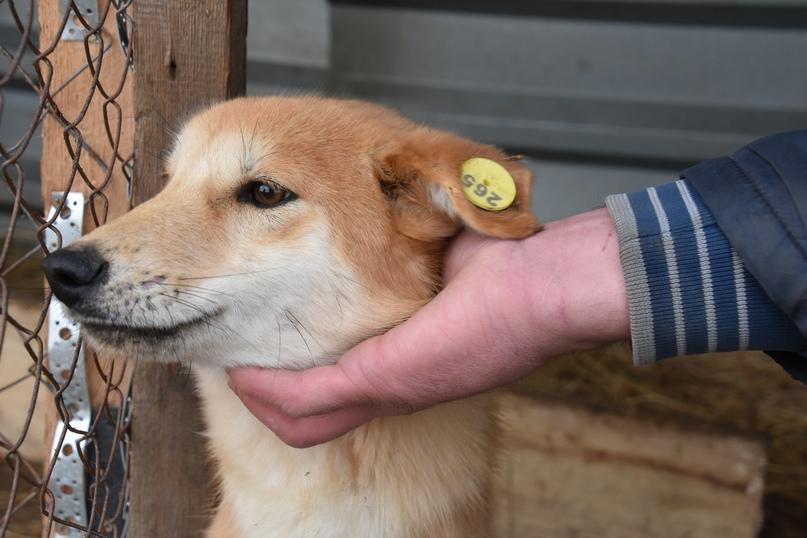 Собак с такой биркой на ухе уже можно встретить на улицах Гурьевска