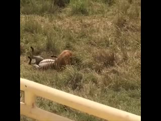 Зебре удаётся спасти своего жеребёнка от смерти, отбив его у львицы.