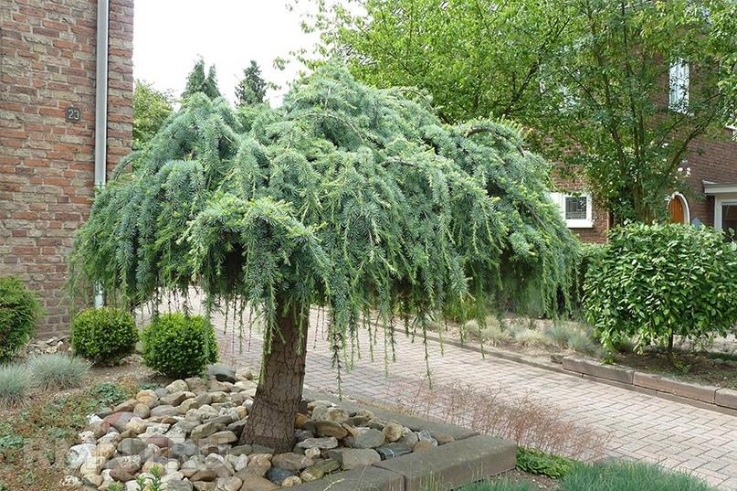 Хвойные растения: советы по подбору и посадке, изображение №3
