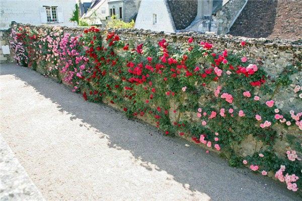 Идеи для дачи: живые изгороди и озеленение забора