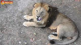 Малыш и Чоли - самый яркий  роман 🧡 Львы. Тайган. Lions life in Taigan.