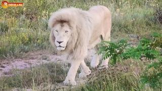 Бегут манюни, бегут кисюни, бегут посетители 😁 Львы. Тайган. Lions life in Taigan.