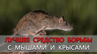 Полностью безопасный и органический способ в борьбе с мышами и крысами. Мыши и крысы уйдут навсегда!