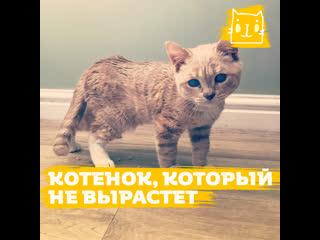 Котенок Манчи, который никогда не вырастет