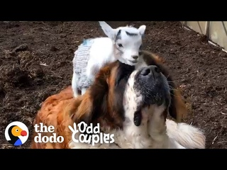 This Giant St. Bernard Learns To Love Her Annoying Little Goat Brother   The Dodo Odd Couples