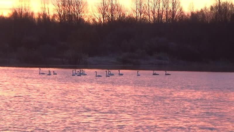 Лебеди на реке Водла