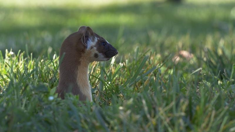 The Weasels of Sebastopol