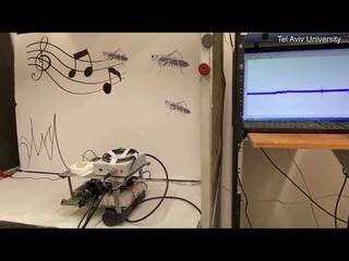 Amazing moment robot 'hears' through ear of dead locust
