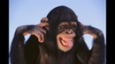 Смешные обезьяны Лучшая подборка видео приколов с обезьянками Часть 2