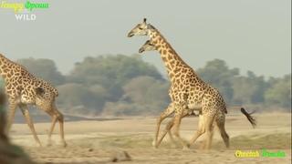 Львицы, Львы и другие животные Африки!