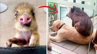 """Собака усыновила осиротевшего дикого """"ХРЯКА""""! Только посмотрите, что из этого ВЫШЛО..."""
