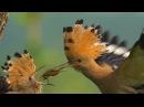 Удод корит птенца / Upupa epops / Hoopoe