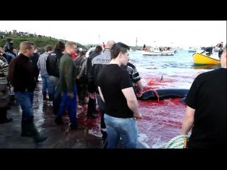 Убийство дельфинов-гринд