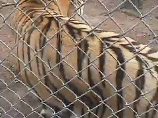 хаха) не лезьте к тиграм в клетку)