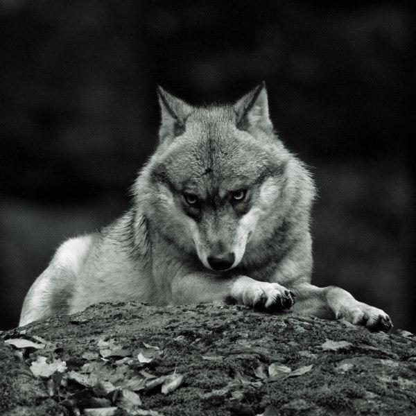 волк одиночка картинки поэтому новогодний
