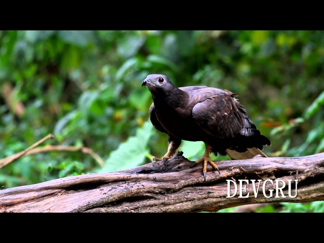 Хохлатый осоед Crested (Oriental) Honey Buzzard Pernis ptilorhynchus