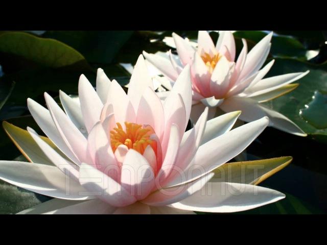 Лотоси розпускаються Квіти Лотосы роспускаются Цветы распускаются