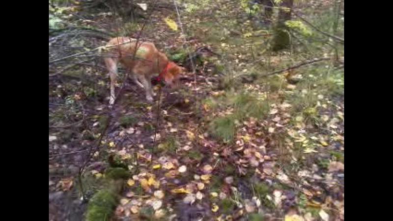 русская гончая 7 месяцев нашла в лесу ежика