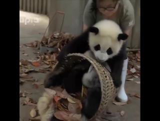 панды балуются