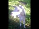 Алена и коза