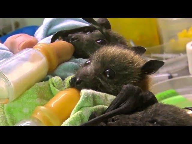Bat Orphans