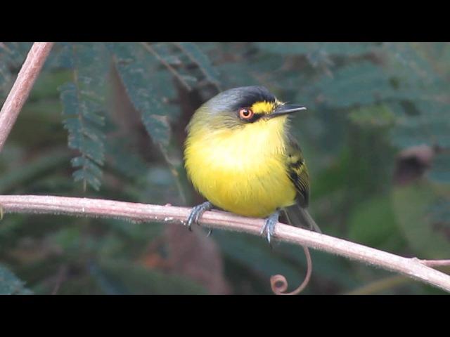 Yellow lored tody flycatcher Сероголовый тоди мухолов Todirostrum poliocephalum