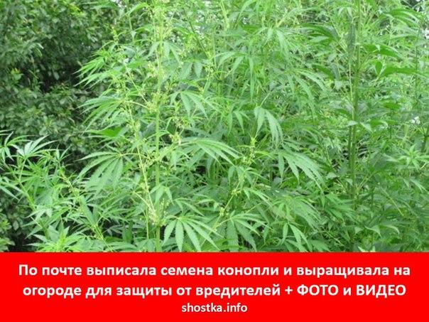 Выписать семя конопли почтой марихуана и потеря сознания