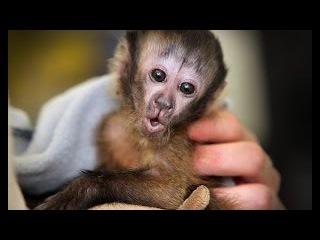 Обезьянка Капуцин - душ перед сном. / Capuchin Monkey - shower before going to bed.