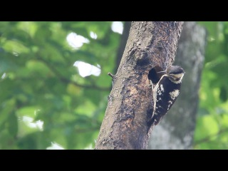 Grey-capped pygmy woodpecker / Большой острокрылый дятел / Picoides canicapillus / Dendrocopos canicapillus