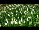 Галантусы в Никитском ботаническом саду. Февраль.