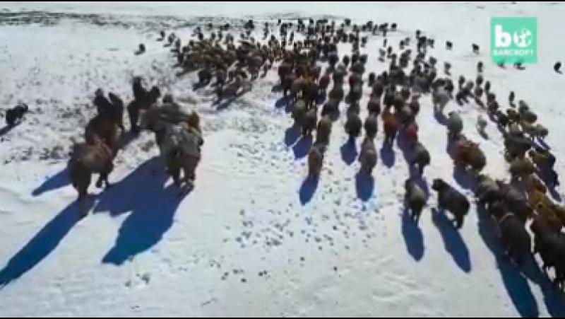Алтайдың қарлы жотасындағы көшпелі қазақтардың көші