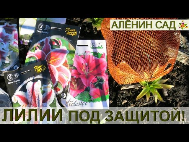 ЛИЛИИ в корзинках 100% ЗАЩИТА от мышей и водяных крыс Посадка лилий весной
