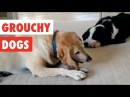 Grouchy Dogs Funny Dogs Video Compilation 2017