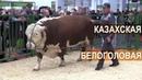 Показ мясного скота. Казахская Белоголовая порода. Выставка Золотая Осень-2017