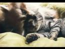 кошка и енот