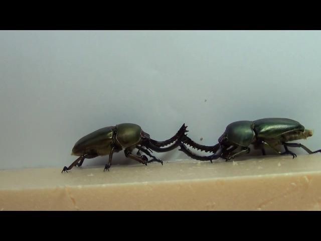 Fight beetles Lamprima adolphinae