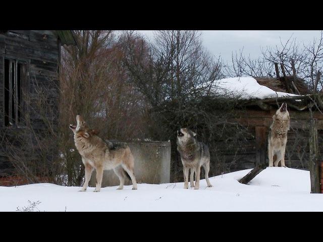 Стая волков в заброшенной деревне Чернобыльская зона Film Studio Aves