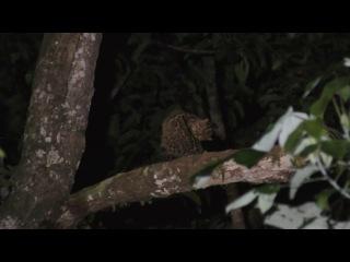 Мраморная кошка / Marbled Cat / Pardofelis marmorata