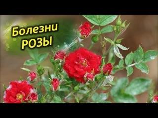 Лечим комнатную розу от болезней! Самые распространенные болезни роз и их лечение!