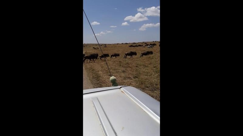 кения.антилопы гну.великая миграция