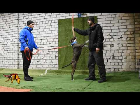 Powerdog elite dog club House Weight Pulling Latvia wplatvia