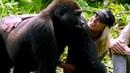 INCRÍVEL MARAVILHOSO Olha a reação dos gorilas quando homem os apresenta sua mulher