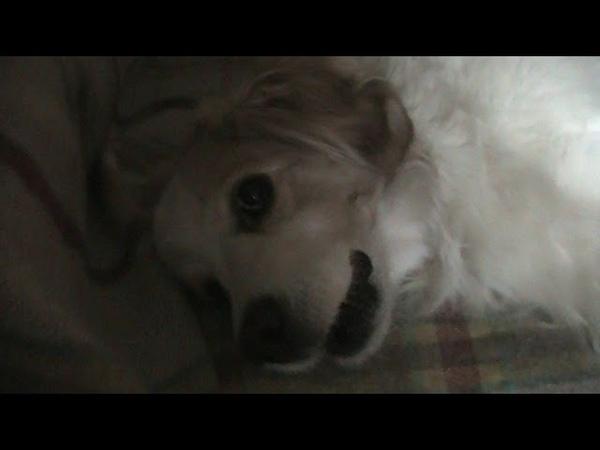 пес душевно поет... рви душу!) поющая собака! the dog sings heartily