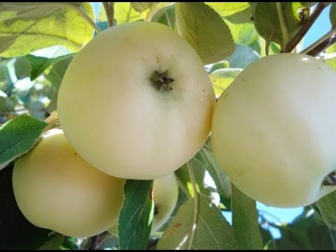 Яблони белый налив,уралецГрушакрасивые цветы