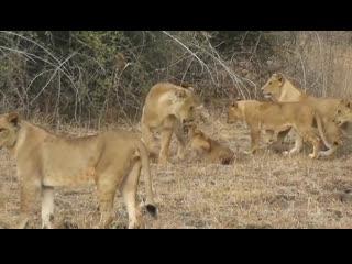 Dominant lioness
