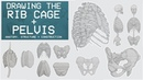Drawing The RIB CAGE PELVIS - Anatomy, Structure Construction - Anatomy 3