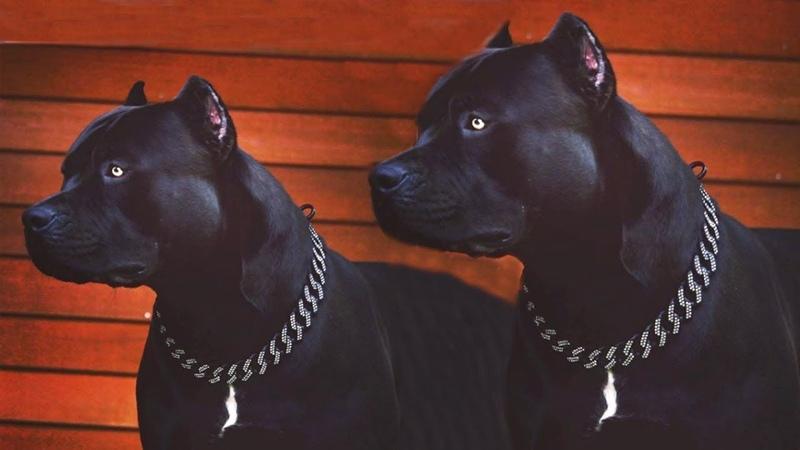 Most Amazing 🐕 Bully Pitbull Dogs