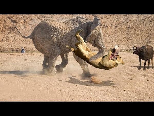СЛОН В ДЕЛЕ! Слон против львов, крокодилов, носорогов...